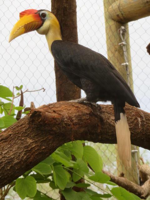 Sunda wrinkled hornbill by TuxedoToad