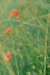 bloodflowers by sigurka