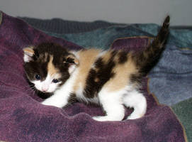 Kitten on the blankets by Koverus