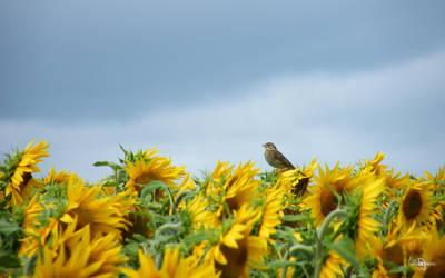 oiseau au tournesol 01 by Didier-Bernard