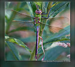 Dragonfly by jamessayers