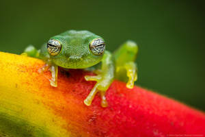 Ghost Glass Frog, Costa Rica by MCN22