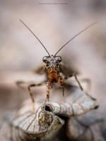Mantis mirando by MCN22