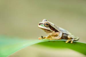 Masked Tree Frog (Smilisca phaeota) by MCN22