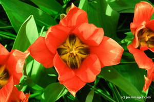 Red lilly by joerimages