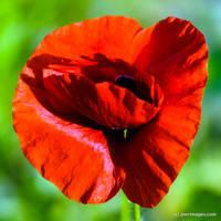 Poppy by joerimages