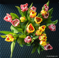 Tulips by joerimages