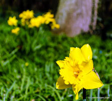Daffodil by joerimages
