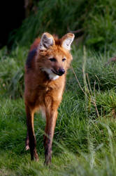 Maned Wolf by Caelitha