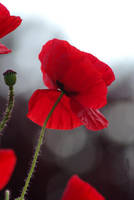 Poppy by Caelitha