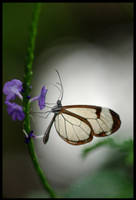 Glass Wings II by Caelitha