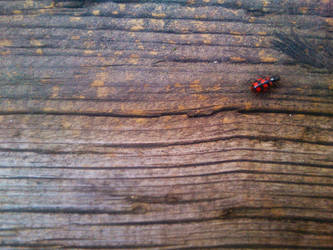 Ladybug by C-Cris21