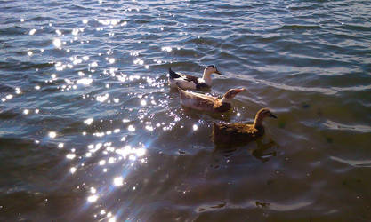 Ducks on the lake by C-Cris21