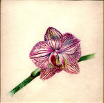 Orchid by Elfwyn