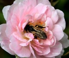 Bee in Rose by GeaAusten