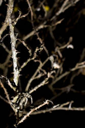 Thorned Branches by sweetdreamsetc