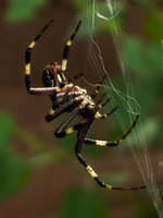 Banded Garden Spider, Argiope trifasciata by YoLoL