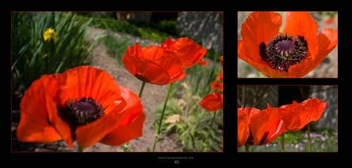 Poppy by -nightm4r3-