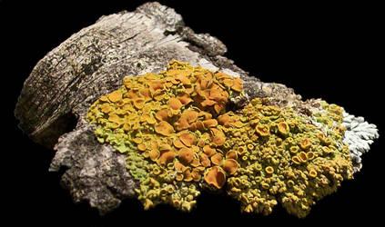 Lichen by BumwardoImortal