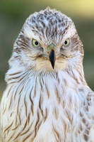 White Siberian Goshawk by lost-nomad07