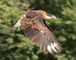 Crested Caracara by lost-nomad07