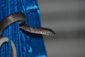 Juvenile Black Racer by Icearstorm