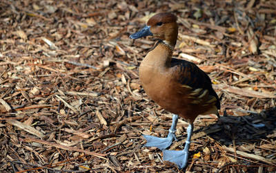 Fulvous Whistling-duck by Icearstorm