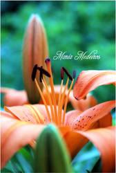 Orange Lily by CozyComfyCouch