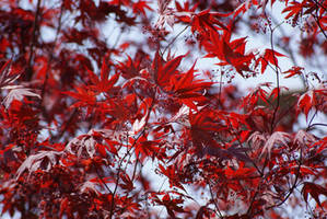 Japanese Maple Tree by CozyComfyCouch