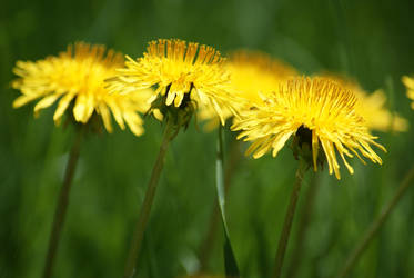 Yellow Dandelions by CozyComfyCouch