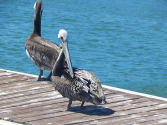 Pelicanos by Worldboy1