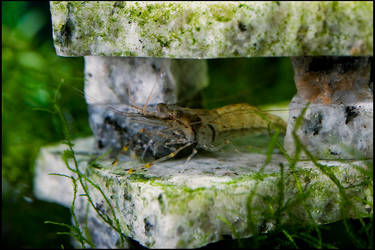 Aquarium - Red Spot Shrimp by MrScourge