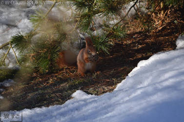 Red Squirrel / Eichhoernchen (rot) by Oukami-SuGo