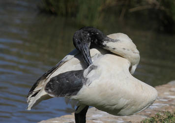 Ibis preens for the camera by Ookamiash