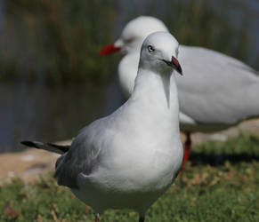 Papparazzi Gull by Ookamiash