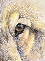Wolf Eye ACEO by Ferluner