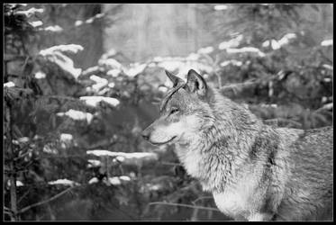 Lonely Wolf by tyranus82