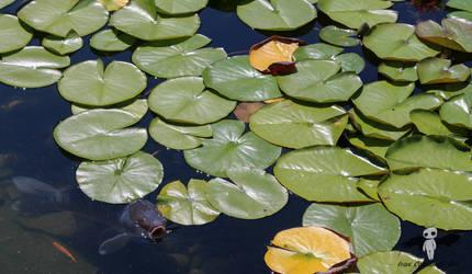 Photogenic Koi Fish at Portland Chinese Garden by IvanCauldwellart