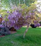 Wisteria_springtime_garden3 by GoblinStock