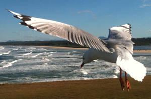 Seagull 4 by GoblinStock