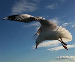 Seagull 10 by GoblinStock