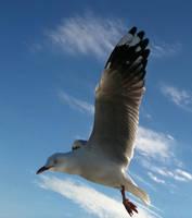 Seagull 11 by GoblinStock
