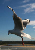 Seagull 12 by GoblinStock