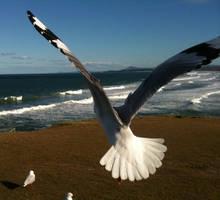 Seagull 16 by GoblinStock