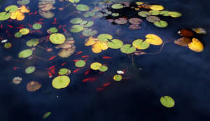 Lillypad Goldfish Pond 7 by GoblinStock