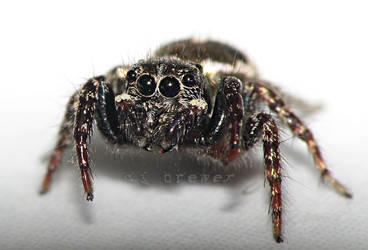 jumping spider camera hog by CorazondeDios