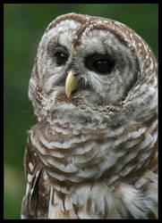 The Barred Owl by ladynightseduction
