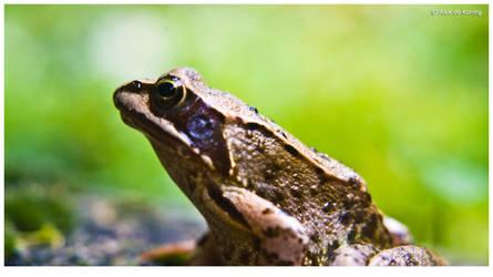 Frog by koningalex