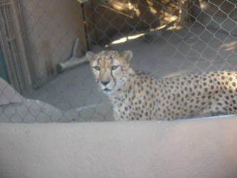 Cheetah by mollynprecious