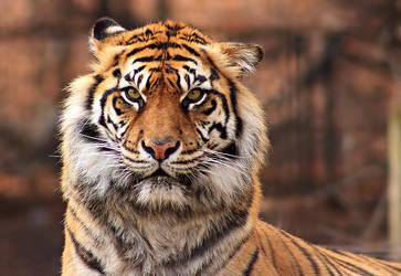 Tiger by ElectricSixx